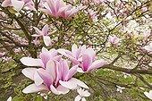 Magnolia 'Heaven Scent' in bloom in a garden