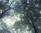 Canopy of hardwoods in the mist Doubs Valley France