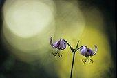 Turk's cap lily in the undergrowth near Lake Chalain Jura