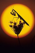 Praying mantis on the sun's disk France