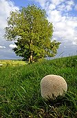 Puffball in a meadow in the spring France