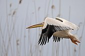 White pelican in flight before a reed bed of the Danube Delta