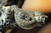 Centralian Carpet Python (Morelia spilota bredli), Australia