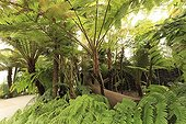 Tree ferns in a greenhouse ; Greenhouse of the evolution, evocation of the primitive flora with tree ferns, before the arrival of flowering plants