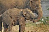 Tender moment between two young Asian Elephants ; Young puts his trunk into the mouth of a baby elephant who is one year and a half