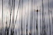 Dragonfly four spots placed on a reed France