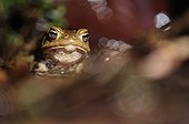 Protrait a common toad in the spring France