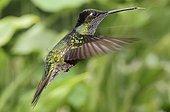 Hummingbird hovering Costa Rica