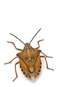 Red Shield Bug on white background