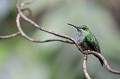 Hummingbird on a branch of Costa Rica