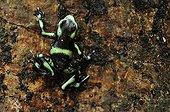 Green poison-arrow frog in the Carara NP Costa Rica