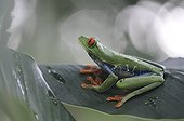 Red-eyed tree frog on a leaf in Costa Rica