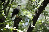 Crested Caracara landed on a branch in Costa Rica