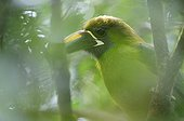 Portrait of a Emerald Toucanet on a branch Costa Rica