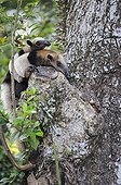 Northern Tamandua with a baby in a tree Costa Rica