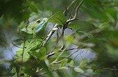 Cicada on a leaf in Costa Rica