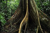 Buttress tree into sub-tropical forestCosta Rica