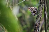 Owl butterfly on a branch Costa Rica