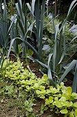 Leeks an purslane in an organic kitchen garden