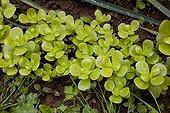 Purslane in an organic kitchen garden