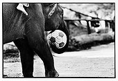 Elephant playing soccer in Thailand