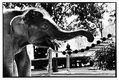 Asian Elephant playing with a xylophone in Thailand