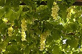 Grapes 'Centennial seedless' under tonella Provence France