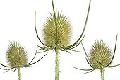 Wild Teasel heads of white background