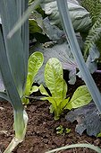 Seedlings of salad with leeks and cabbage