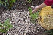 Wood chips mulching on celery in an organic kitchen garden