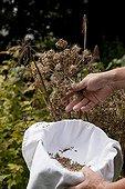 Harvest of garden angelica seeds in an organic garden