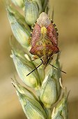 Black-shouldered shield-bug on an ear of barley organic