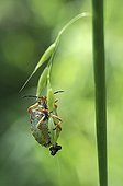 Black-shouldered shield-bug laying on a grass France