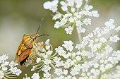 Black-shouldered shield-bug on France