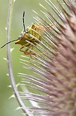 Black-shouldered shield-bug on Teasel head France