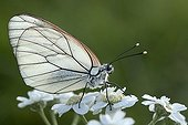 Black-veined White male on Achillea flowers on bank France