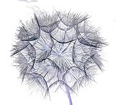 Image processing of a picture of wild salsify