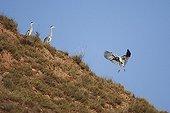 Grey Heron landing near others herons La Rioja Spain