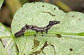 Noctuidae , Catocala spec., Thailand