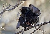 Common starlings mating on a branch Finland