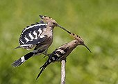 Hoopoes mating Hungary