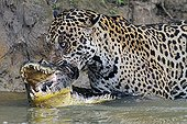 Jaguar killing the Cayman it has just captured Pantanal ; The superpredator tries to kill its prey by squeezing his neck with the jaws.