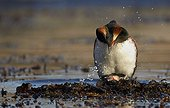 Horned grebes mating Finland