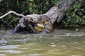 Jaguar killing & reporting a Cayman against a strong current ; While stifling tightening the neck, the superpredator fight against the strong current and tries to get his prey out of the water.