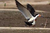 Black skimmers mating Brazil