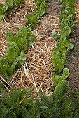 Mulching of straw on endives in an organic kitchen garden