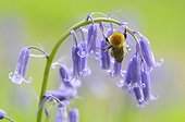 Bumblebee on a flower meadow of bluebells France