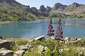 Lys Martagon lakeside Allos in the Mercantour NP France