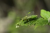 Sawfly in the grass in France