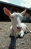 White domestic goat, lying down, the Alps, Switzerland, Europe